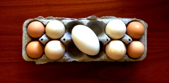 Variety pack! Turkey eggs, duck eggs, and one giant goose egg!