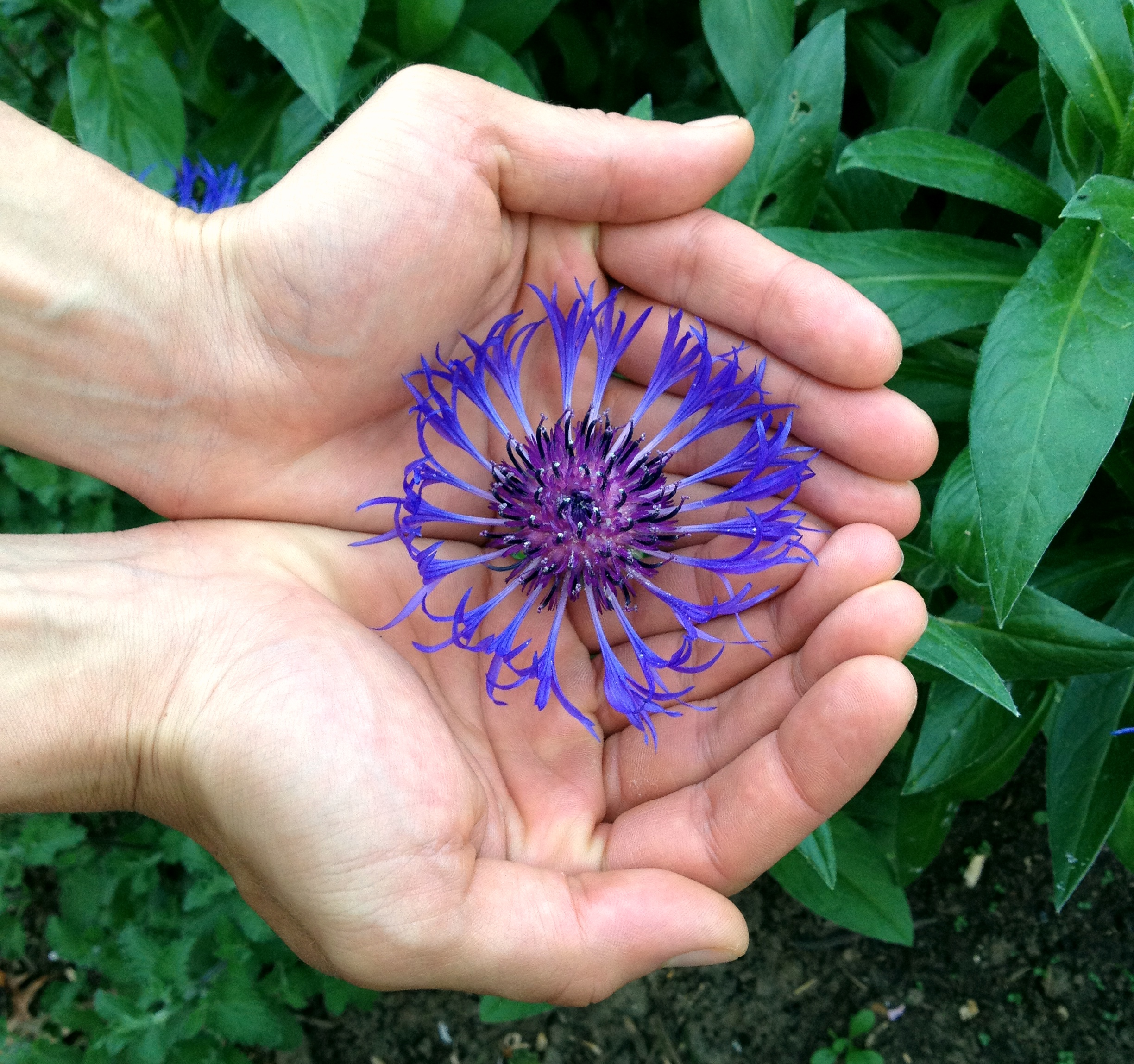 Passion Flower And Testosterone